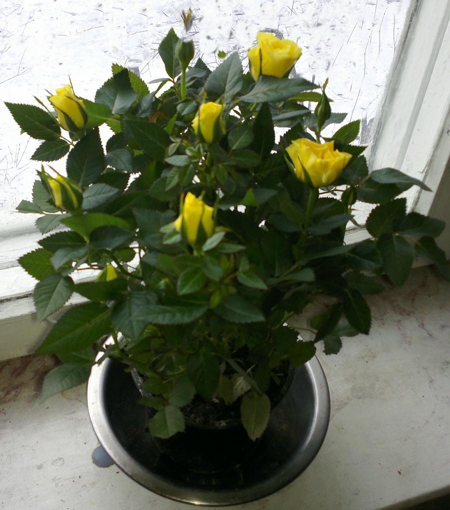 Rosa Danica, yellow