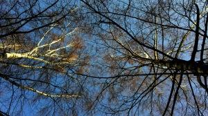 birches upwards