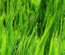 grassblades