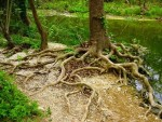 tree roots at water