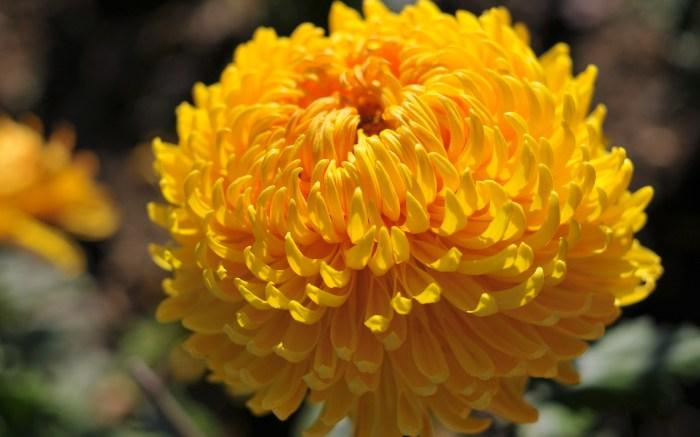 image-wallpaper-1680-1050-Beautiful-Flowers-Chrysanthemum-Flowers-pictures-Ni345451