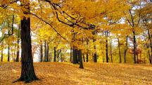 yellow-maple-forest-in-sunshine,1366x768,50767